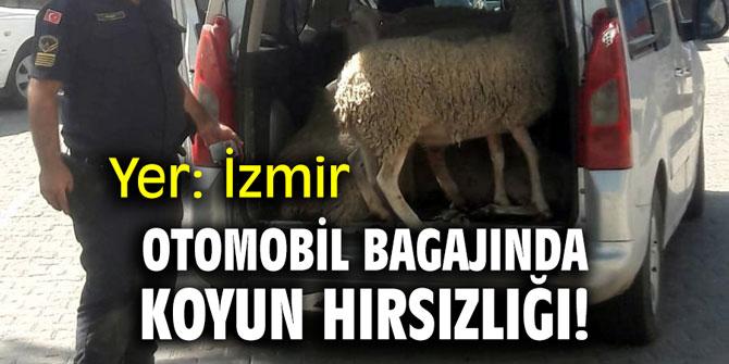 Otomobil bagajında koyun hırsızlığı! Yer: İzmir