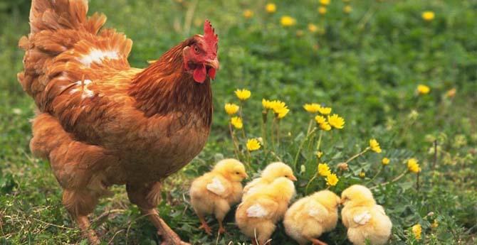 Tavuklar Altın Yumurtluyor
