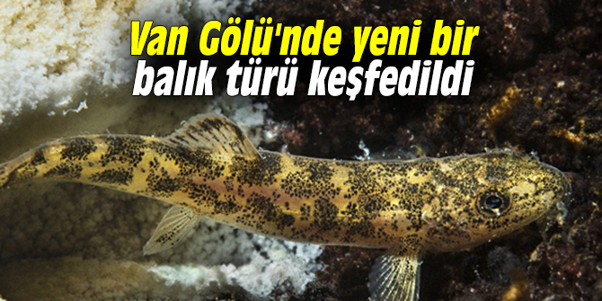 Van Gölü'nde yeni bir balık türü keşfedildi