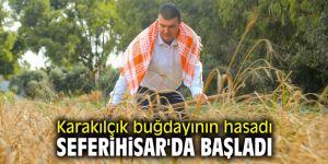 Karakılçık buğdayının hasadı Seferihisar'da başladı