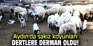 Aydın'da sakız koyunları hızla çoğalmaya devam ediyor