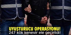 Uyuşturucu operasyonu! 247 kök kenevir ele geçirildi!