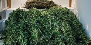 118 kök kenevir ve 10 kilo 600 gram esrar ele geçirildi