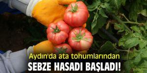 Aydın'da ata tohumlarından sebze hasadı başladı!