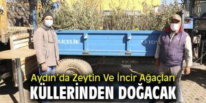 Aydın'da Zeytin Ve İncir Ağaçları Küllerinden Doğacak