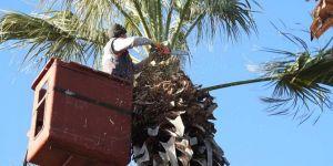 Çandarlı'da Palmiyelere Kışlık Bakım