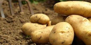 Piyasaya ucuz patates sürülecek