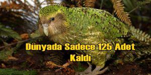 Tüm Dünyada Sadece 125 Tane Kakapo Papağanı Kaldı