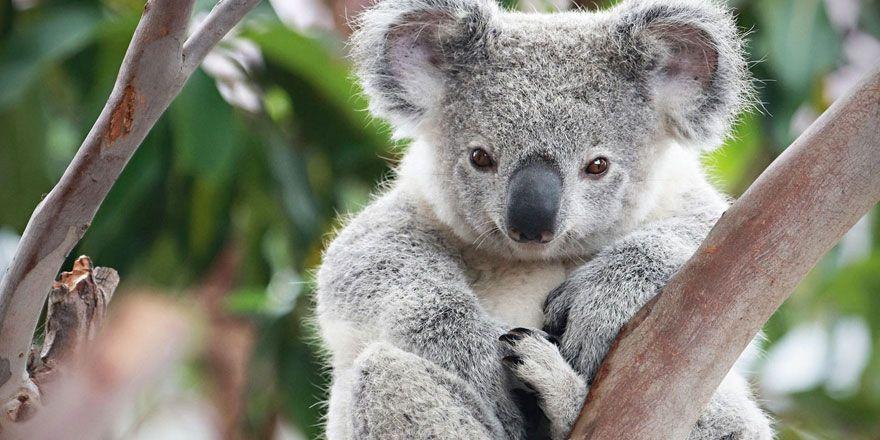 Ağaçtan atılan sevimli koalanın sevimli isyanı