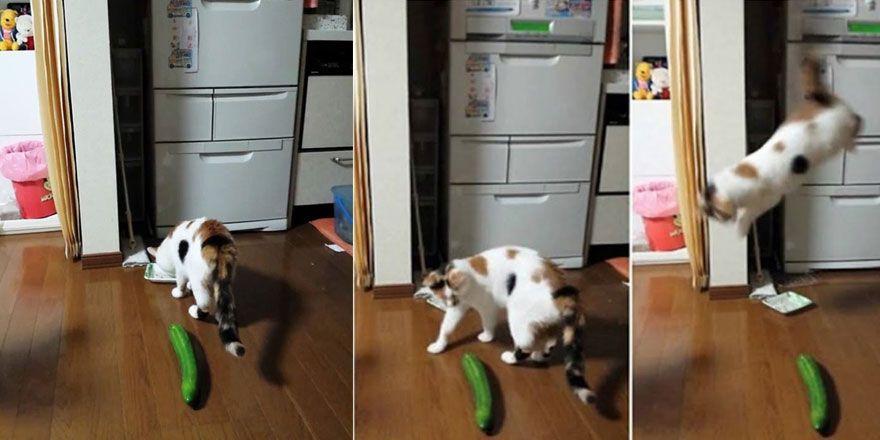 Salatalıktan Korkan Şapşik Kediler